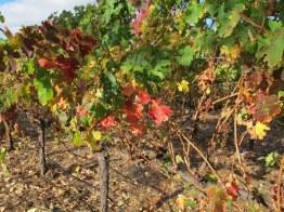 Margaret River vines