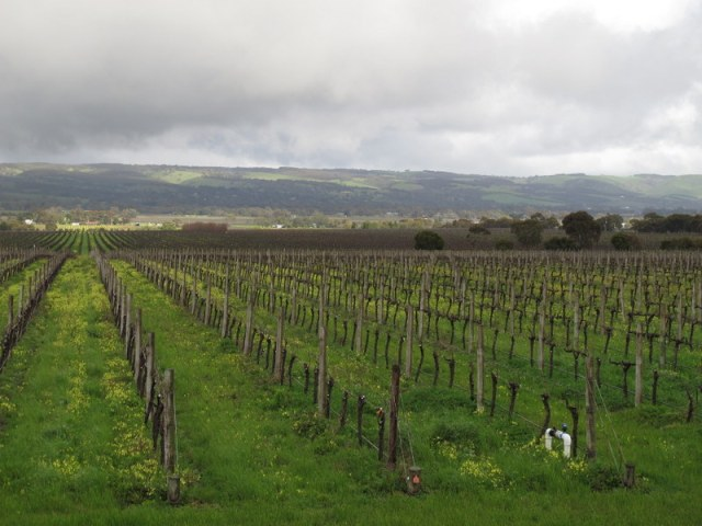 The vines and the view from Hugh Hamilton cellar door.