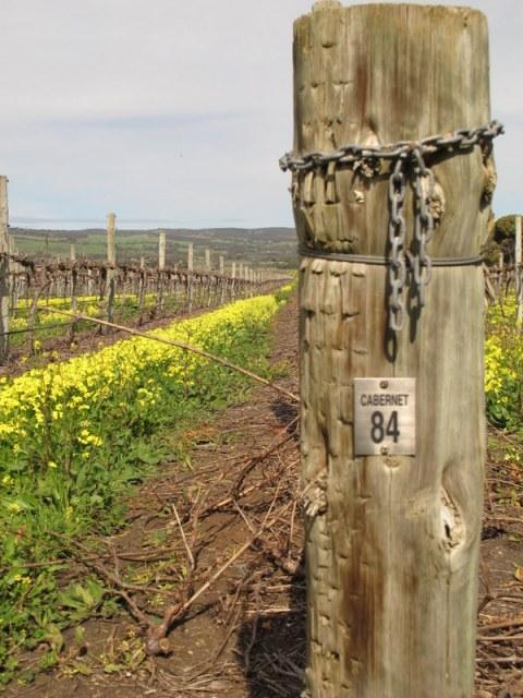 Shiraz and Cabernet vines.