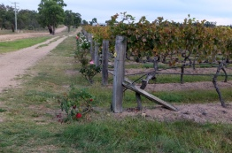 Vines and roses at Tobin Wines
