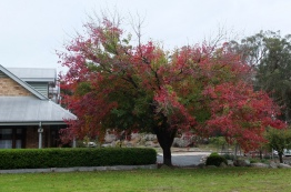 Autumn colours coming out in Stanthorpe.