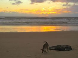Dingo at Sunrise on Fraser