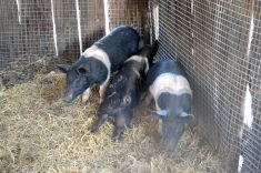 Piglets - the latest addition to Hidden Vale and very cute