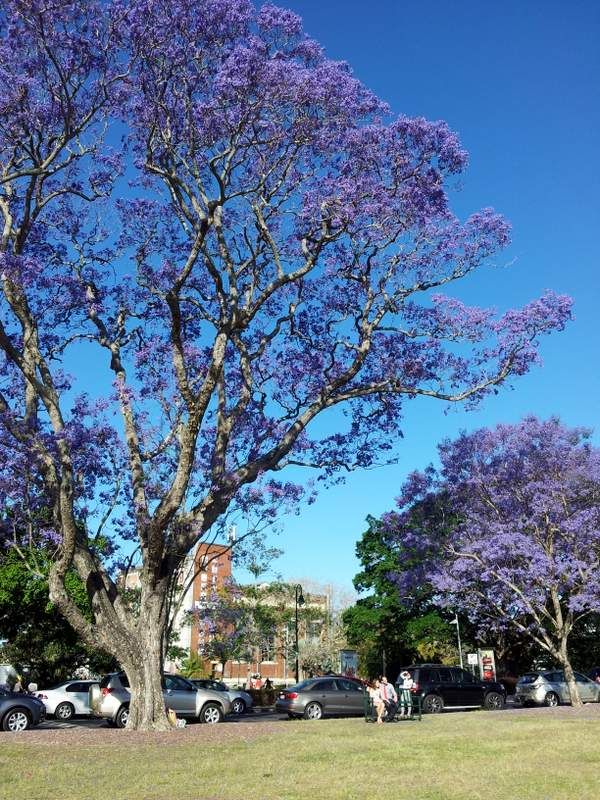 Jacarandas in New Farm Park